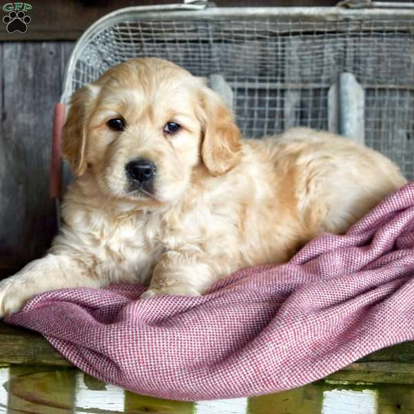 Lukey, Golden Retriever Puppy