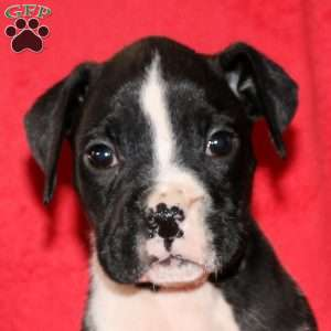 Luther, Boxer Puppy