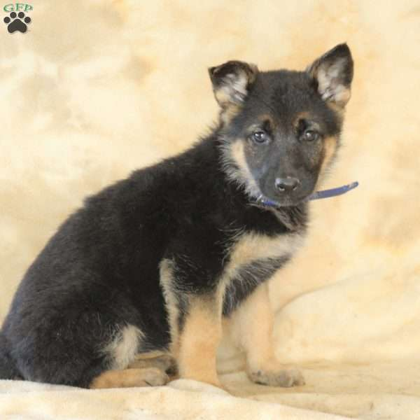 Marcy, German Shepherd Puppy