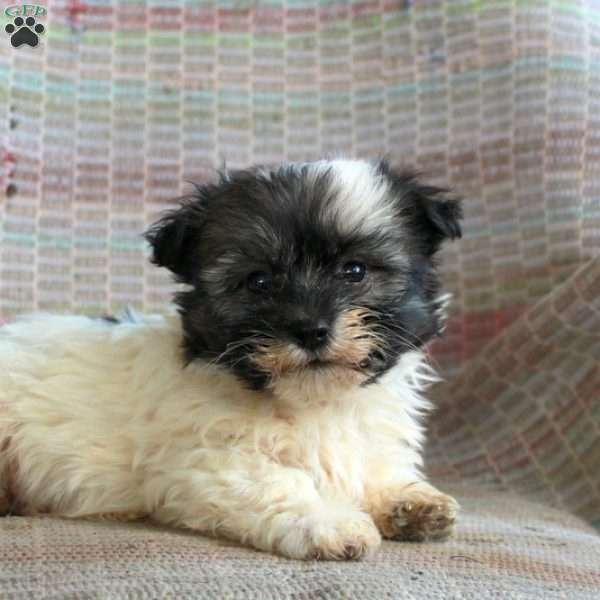 Marvin, Havanese Puppy
