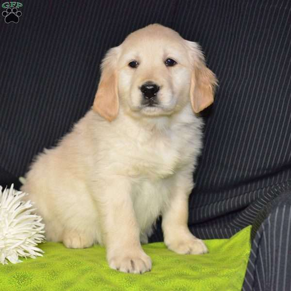Max, Golden Retriever Puppy