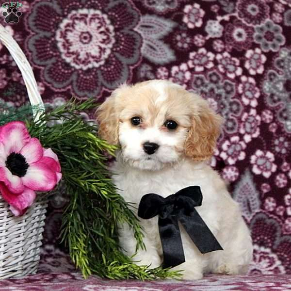 Miracle, Cavachon Puppy