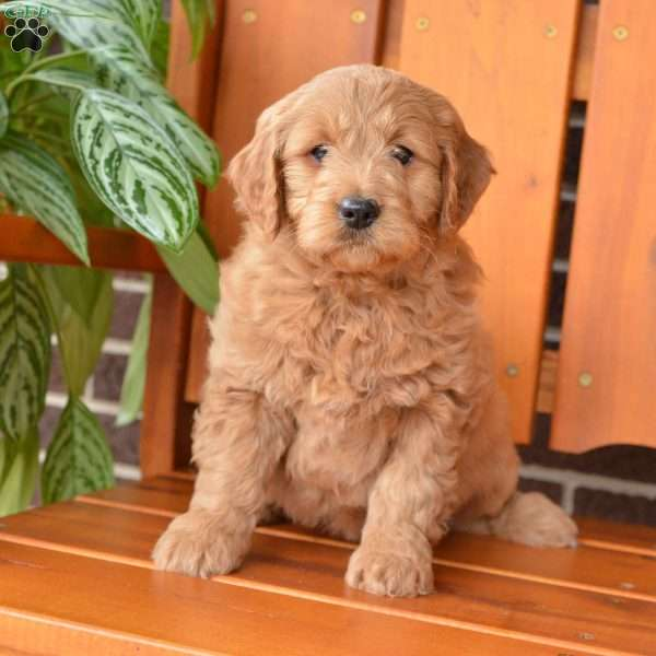 Molly, Mini Goldendoodle Puppy