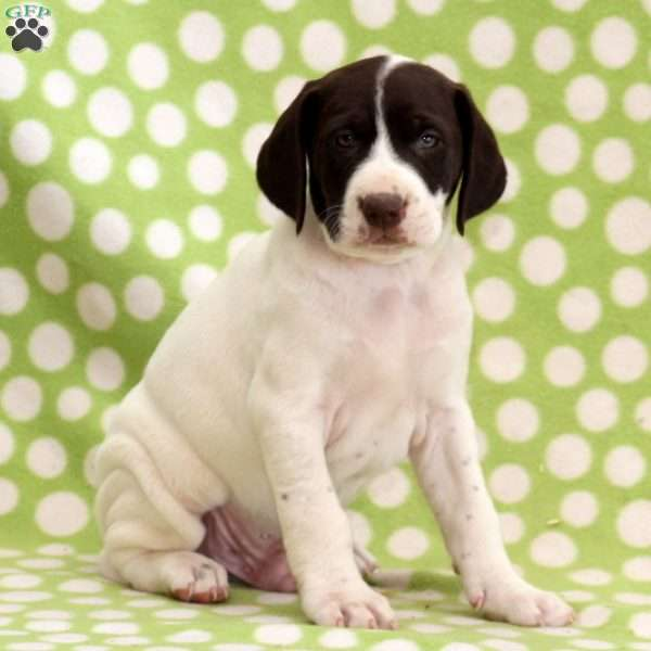 Muddy Buddy, German Shorthaired Pointer Mix Puppy