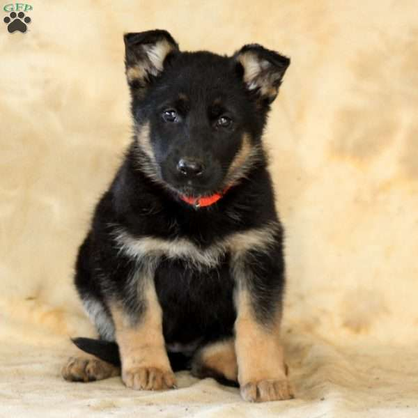 Myrtle, German Shepherd Puppy