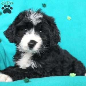 Nellie, Bernedoodle Puppy