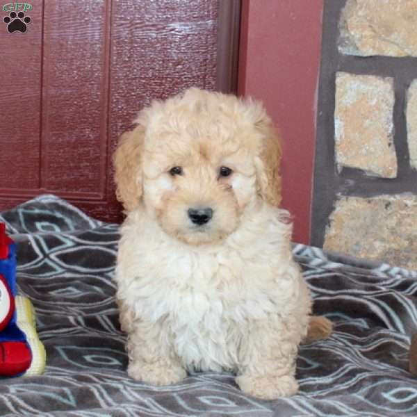 Nicko, Mini Goldendoodle Puppy