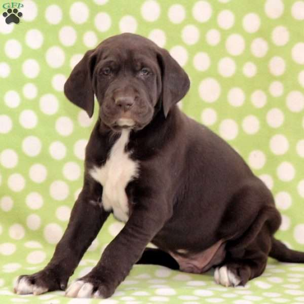 Oreo, German Shorthaired Pointer Mix Puppy