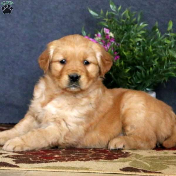 Panda, Golden Retriever Puppy