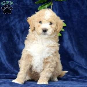 Paxton, Mini Goldendoodle Puppy