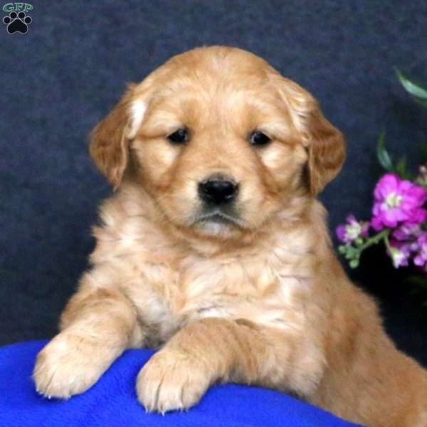 Penny, Golden Retriever Puppy