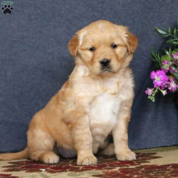 Petunia, Golden Retriever Puppy