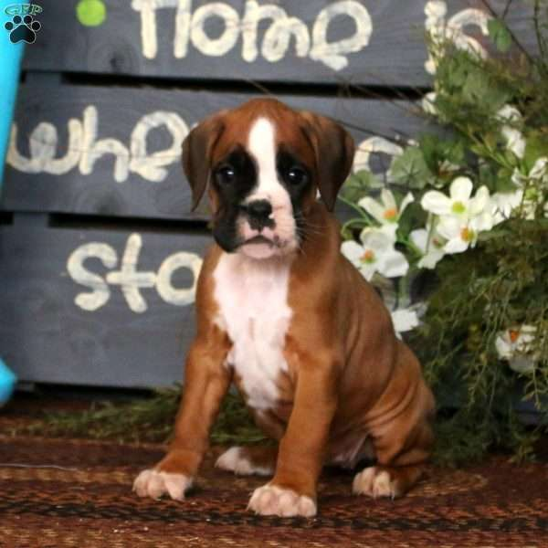 Posey, Boxer Puppy