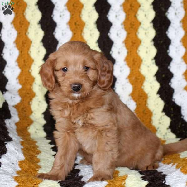 Princess, Mini Goldendoodle Puppy