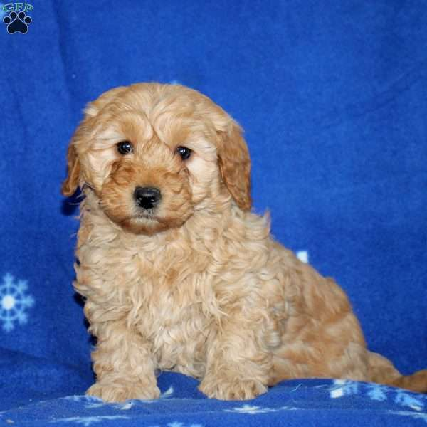 Ramona, Mini Goldendoodle Puppy