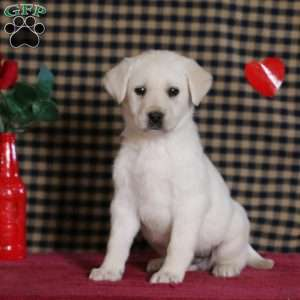 Reece, Yellow Labrador Retriever Puppy