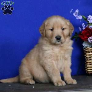 Sammy, Golden Retriever Puppy