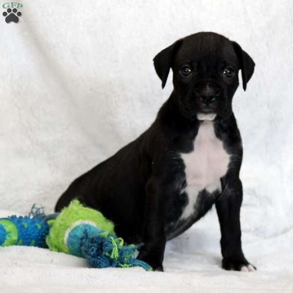 Shadow, Boxer Puppy