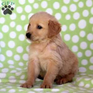 Solomon, Golden Retriever Puppy