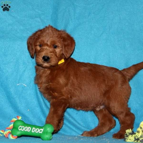 Sparky, Labradoodle Puppy