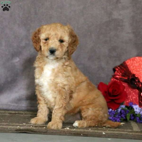 Spice – F1B, Mini Goldendoodle Puppy
