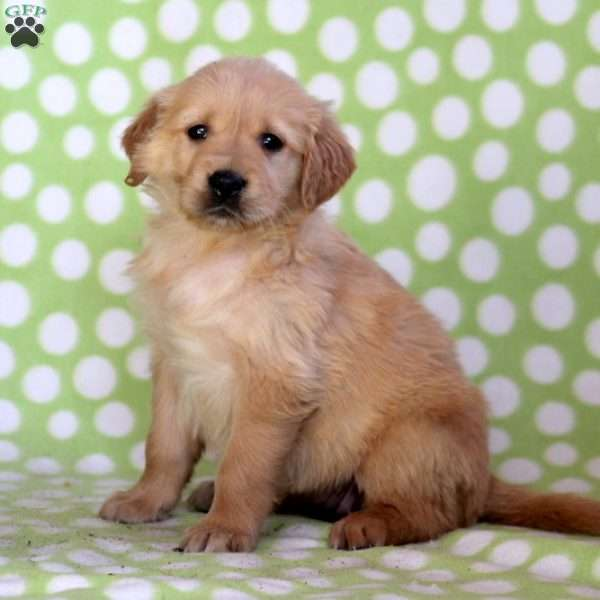 Susie, Golden Retriever Puppy