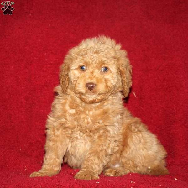 Tami, Mini Goldendoodle Puppy