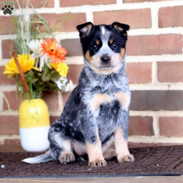 Tammy, Blue Heeler – Australian Cattle Dog Puppy
