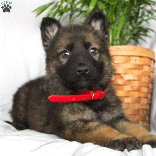 Tank, German Shepherd Puppy