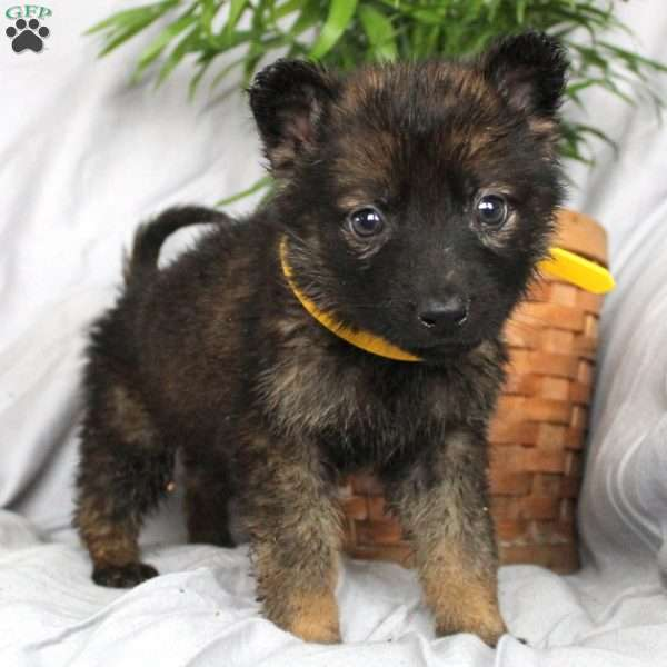 Tasha, German Shepherd Puppy