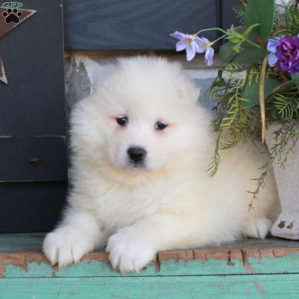 Teleda - Samoyed Puppy For Sale in Pennsylvania