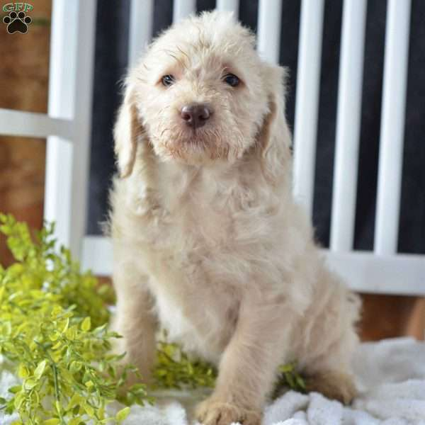 Terri Labradoodle Puppy For Sale In Ohio