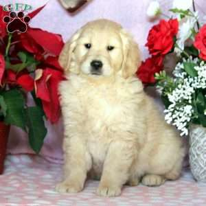 Tess, Golden Retriever Puppy