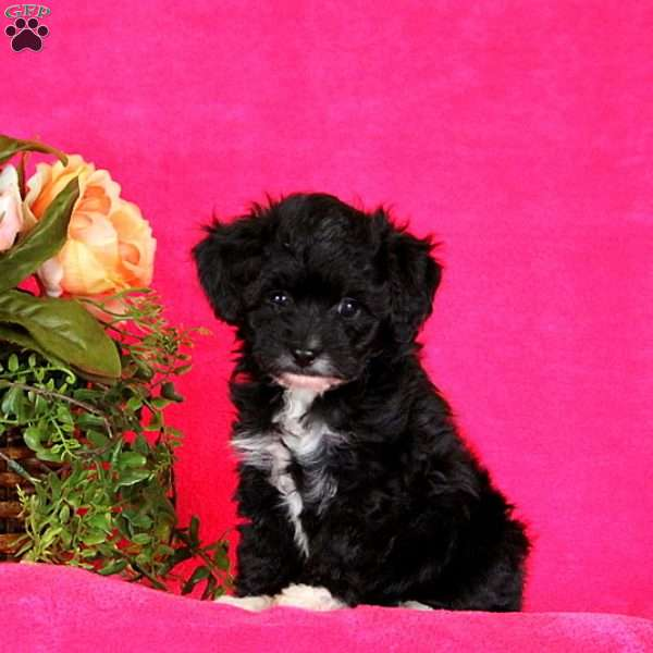 Theodore – Toy Aussiedoodle, Miniature Aussiedoodle Puppy
