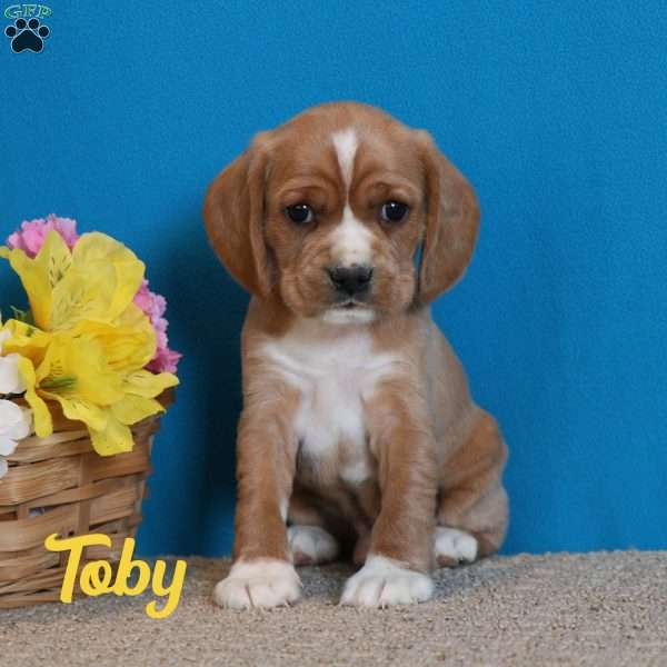 Toby, Cocker Spaniel Mix Puppy