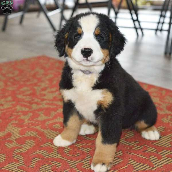 Tommy Bernese Mountain Dog Puppy For Sale In Ohio