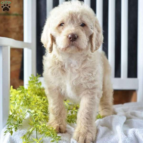 Tonya Labradoodle Puppy For Sale In Ohio