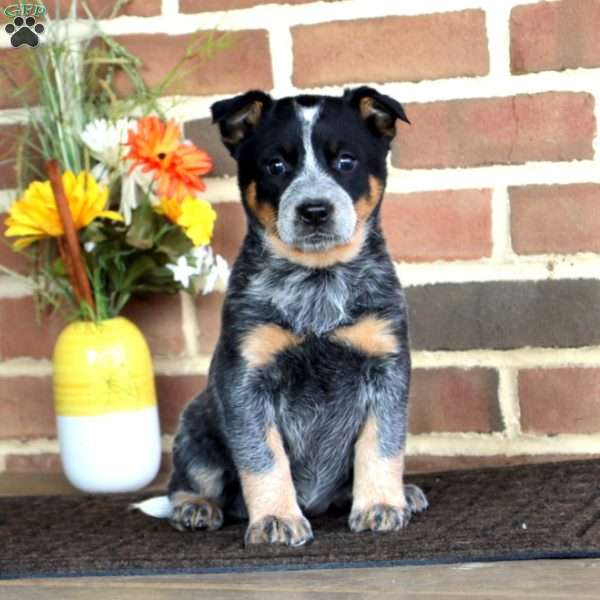 Tracey, Blue Heeler – Australian Cattle Dog Puppy