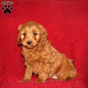 Trey, Mini Goldendoodle Puppy