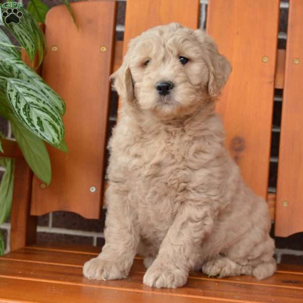 Tucker, Mini Goldendoodle Puppy
