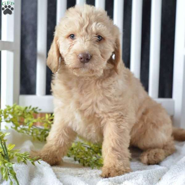 Tulsa Labradoodle Puppy For Sale In Ohio