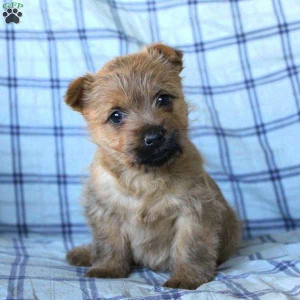 Twix - Cairn Terrier Puppy For Sale in Pennsylvania