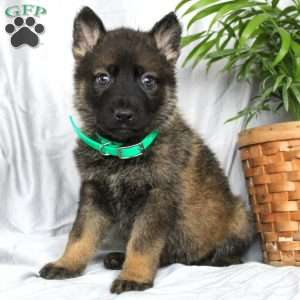 Twix, German Shepherd Puppy