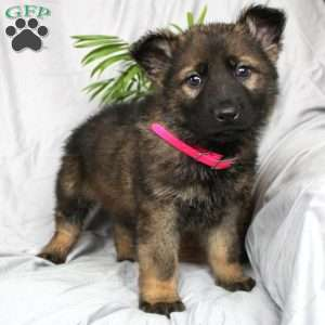 Ty, German Shepherd Puppy