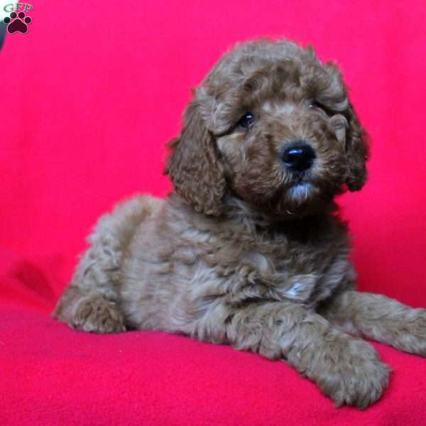 Valentine, Mini Goldendoodle Puppy