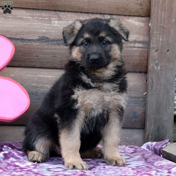 Valerie, German Shepherd Puppy