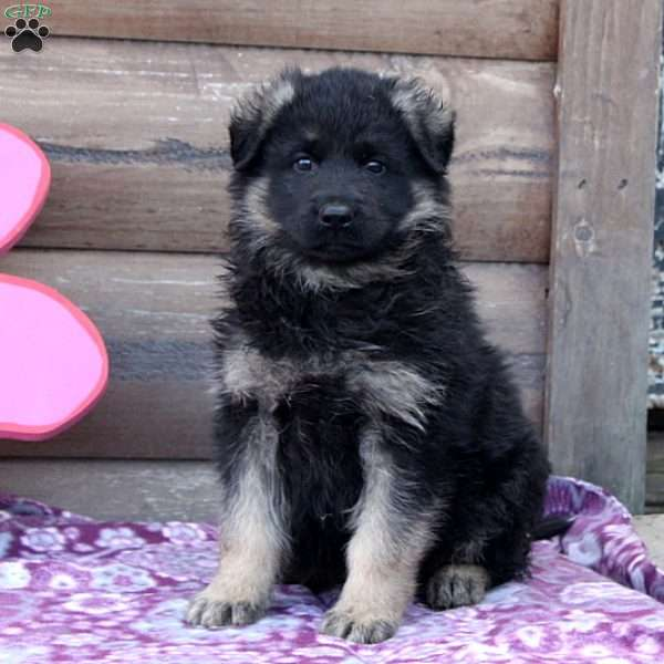 Van, German Shepherd Puppy