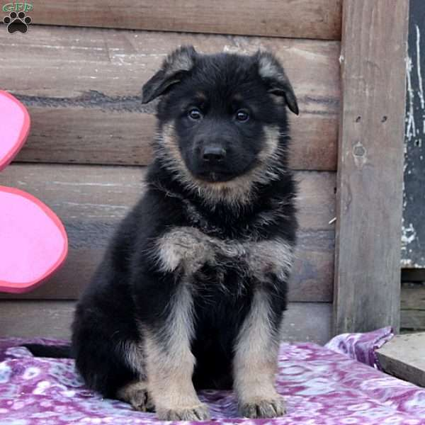 Vera, German Shepherd Puppy