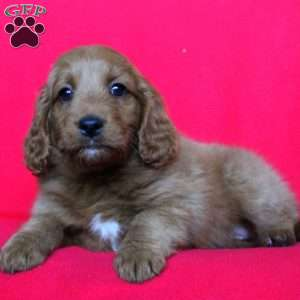 Vicky, Mini Goldendoodle Puppy