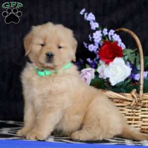 Victor, Golden Retriever Puppy